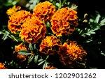 cempas chil flower of the dead ... | Shutterstock . vector #1202901262