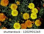 cempas chil flower of the dead ... | Shutterstock . vector #1202901265