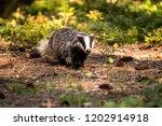 badger in forest  animal in... | Shutterstock . vector #1202914918