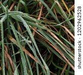 grass dew texture. nature... | Shutterstock . vector #1202962528