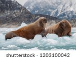 walrus and her pup floating on... | Shutterstock . vector #1203100042