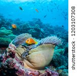 Clown Fish And Anemone  The...