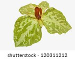 Small photo of Toadshade trillium, in bloom, on a white background.