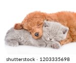 Stock photo close up poodle puppy and tiny kitten sleeping together isolated on white background 1203335698