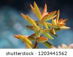 beautiful green succulent pant... | Shutterstock . vector #1203441562