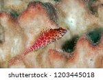 hawkfish with feet like fins on ... | Shutterstock . vector #1203445018
