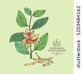 ashwagandha  branch  berries... | Shutterstock .eps vector #1203484162