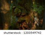 close up boreal owl  aegolius... | Shutterstock . vector #1203549742