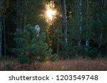 boreal owl  aegolius funereus ... | Shutterstock . vector #1203549748