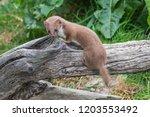 Weasel Or Least Weasel  Mustel...