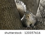 Eastern Gray Squirrel Looking...