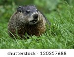 Groundhog Standing In The Gras...
