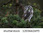 Stock photo portrait of a small brown owl with glowing yellow eyes in a beautiful natural environment boreal 1203662695
