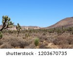 A Grove Of Joshua Trees And...
