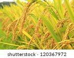 Mature Harvest Of Golden Rice