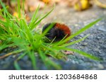 hairy wooly bear caterpillar... | Shutterstock . vector #1203684868