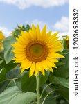 sunflower natural background.... | Shutterstock . vector #1203698332