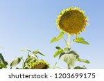 Big Ripe Sunflower Sticks Out...