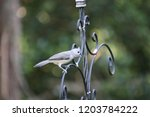 tiny chickadee titmouse... | Shutterstock . vector #1203784222