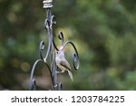 tiny chickadee titmouse... | Shutterstock . vector #1203784225