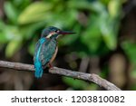 common kingfisher also known as ... | Shutterstock . vector #1203810082