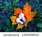 champignon on maple leaf   Shutterstock . vector #1203938422