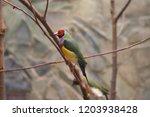 the gouldian finch  erythrura... | Shutterstock . vector #1203938428