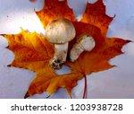 champignon on maple leaf   Shutterstock . vector #1203938728