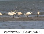 eurasian or common spoonbill in ...   Shutterstock . vector #1203939328