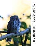 eurasian pygmy owl swabian jura ...   Shutterstock . vector #1203939742