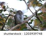 eurasian pygmy owl swabian jura ...   Shutterstock . vector #1203939748