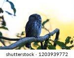eurasian pygmy owl swabian jura ...   Shutterstock . vector #1203939772