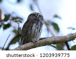 eurasian pygmy owl swabian jura ...   Shutterstock . vector #1203939775
