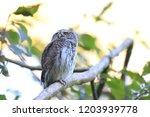 eurasian pygmy owl swabian jura ...   Shutterstock . vector #1203939778