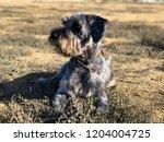 schnauzer dog  play in the... | Shutterstock . vector #1204004725