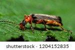 red soldier beetle  rhagonycha... | Shutterstock . vector #1204152835