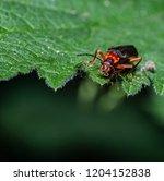 red soldier beetle  rhagonycha... | Shutterstock . vector #1204152838