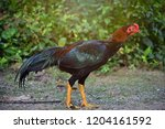 free living of chickens | Shutterstock . vector #1204161592