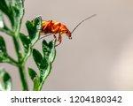 red soldier beetle  rhagonycha... | Shutterstock . vector #1204180342