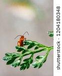 red soldier beetle  rhagonycha... | Shutterstock . vector #1204180348