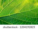 green grape leaf closeup | Shutterstock . vector #1204192825