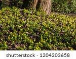 Blossom buttercup anemone  ...