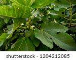 aubergines plantation  alanya ...   Shutterstock . vector #1204212085