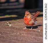 cardinal in nature | Shutterstock . vector #1204241362