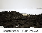 white bear is located on... | Shutterstock . vector #1204298965