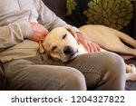 Stock photo dog is resting for man owner petting his pet closeup yellow labrador retriever dog feel happy 1204327822
