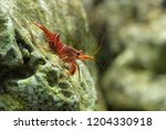 dancing shrimp  hinge beak... | Shutterstock . vector #1204330918