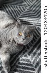 british shorthair female cat  | Shutterstock . vector #1204344205