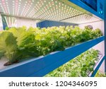 hydroponic vegetable grow with ... | Shutterstock . vector #1204346095