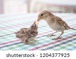 new born sparrow bird babies.... | Shutterstock . vector #1204377925